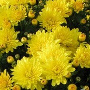Хризантема мелкоцвет желтая балтика