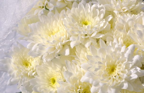 Хризантема мелкоцвет белая балтика