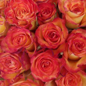 местная роза желтая