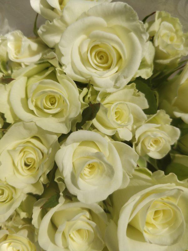 местная роза белая